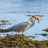 Great Blue Heron with Fish, Broadford, Isle of Skye, Scotland