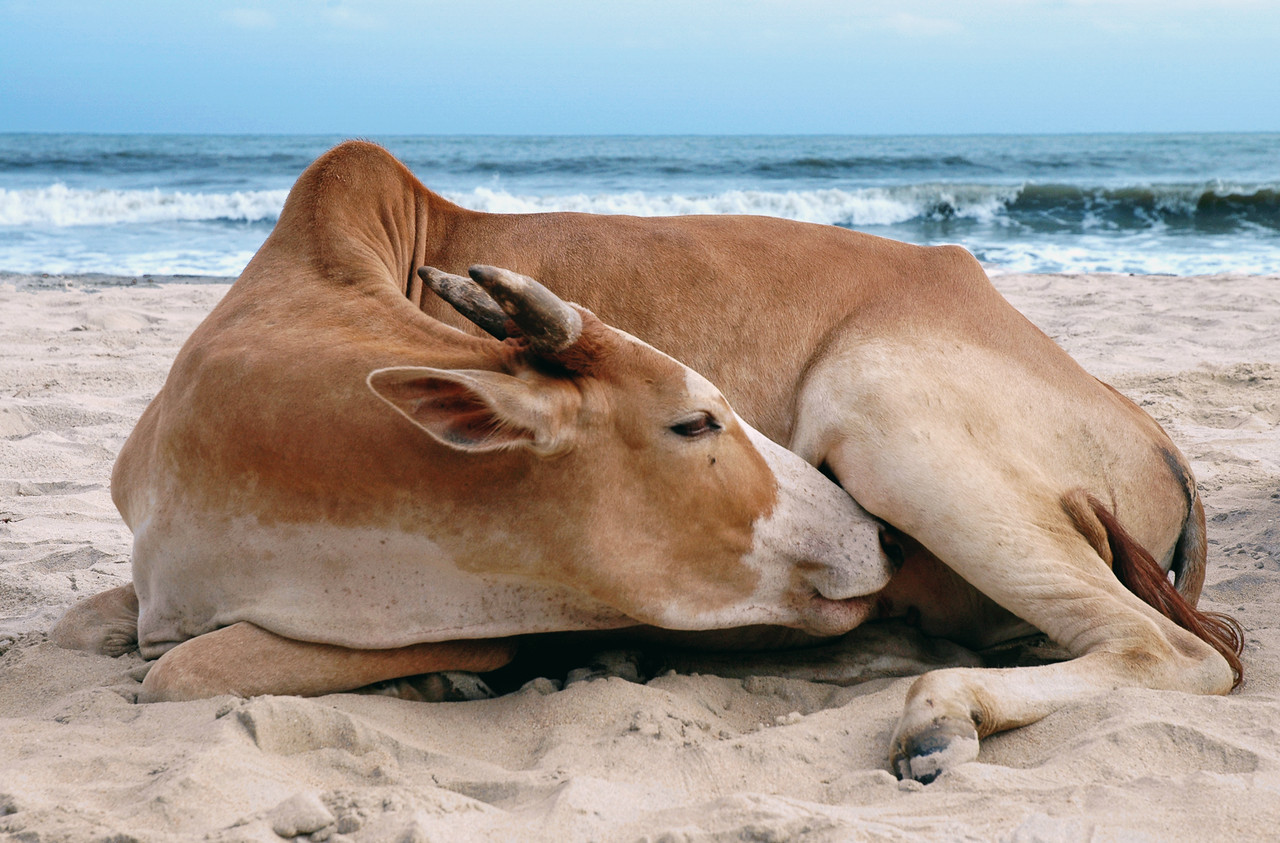 Goa, India For those of you who have been to India seeing a cow on the beach is not such an uncommon sight.  They are everywhere and because no one eats them they are very relaxed animals.