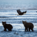 The Eagle Versus the Bears?
