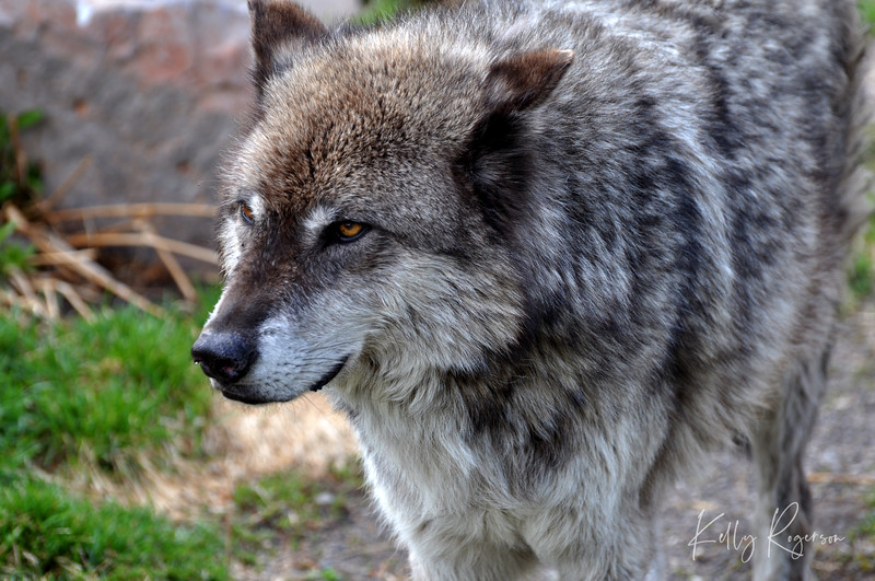 Grey Wolf - Yellowstone Wolf Preserve