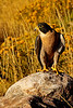 Peregrine Falcon 1