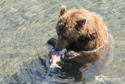 A brown bear eating a salmon in the Katmai Preserve, Alaska.