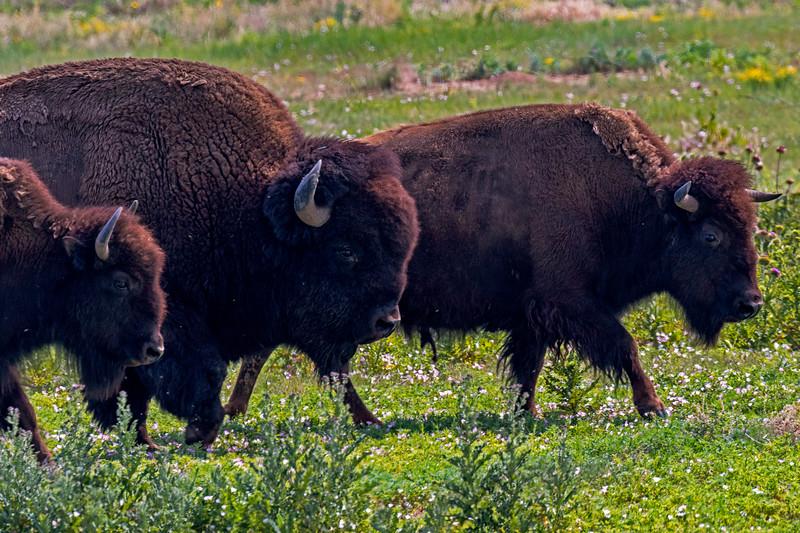 Bison Migration 1