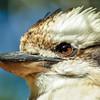 closeup of a Kookaburra