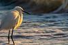 Snowy Egret Surf