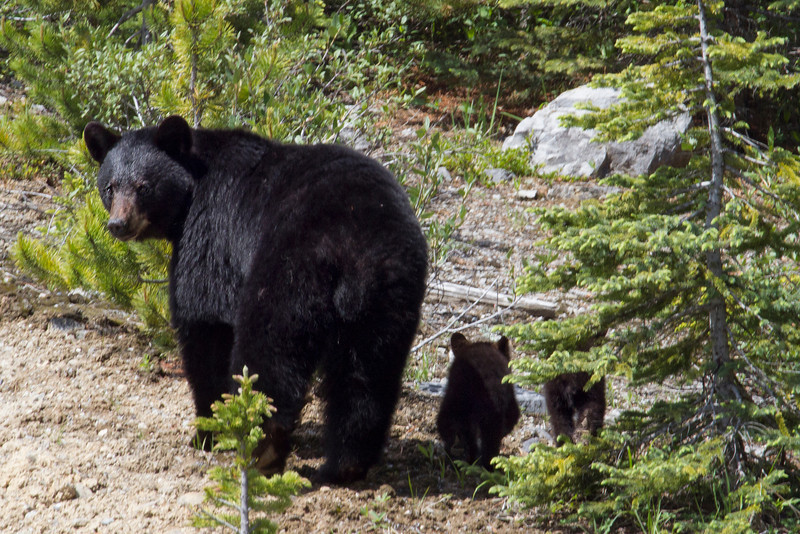 Black Bear and cubs, Alberta, Canada
