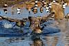 Runaway Goose