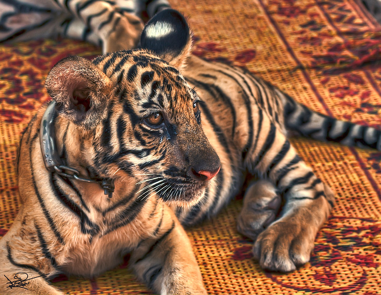 Tiger Cub, Tiger Temple, Thailand