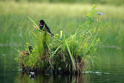 Red-winged Blackbird Island