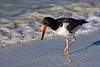 Oystercatcher Surf