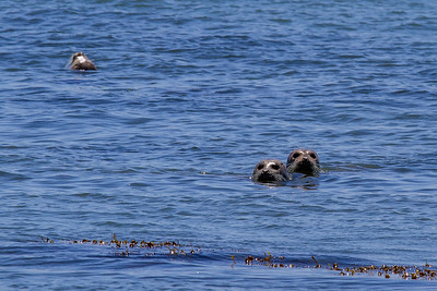 Seals at Otter Rock ~ Oregon Coast