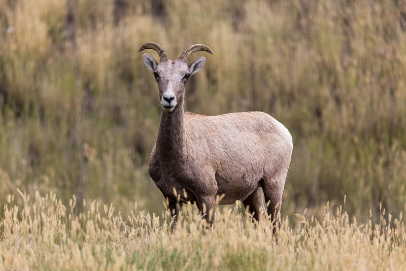 Long-horned Sheep