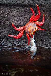 Sally Lightfoot Crab captures a Squid