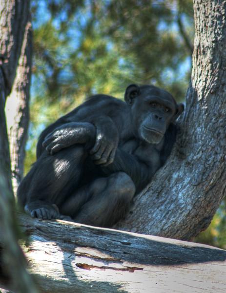 Chimpanzee, Sydney Zoo, Australia