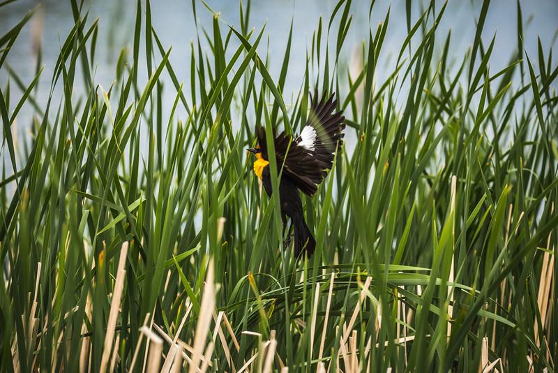 Yellow Headed Blackbird Takes Flight