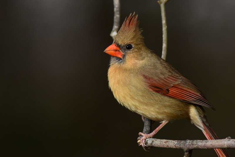 """Female Northern Cardinal"""