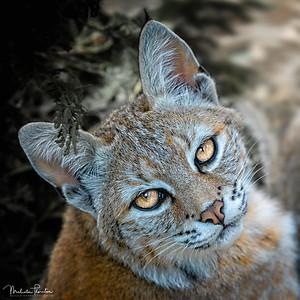 Red Lynx (Bobcat)