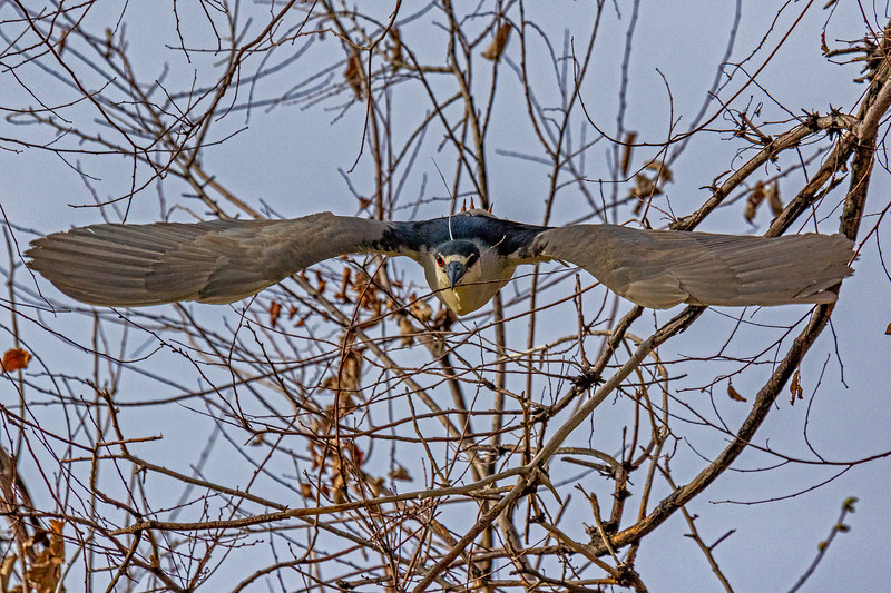 Black-crowned Night-Heron Stick Duty 1
