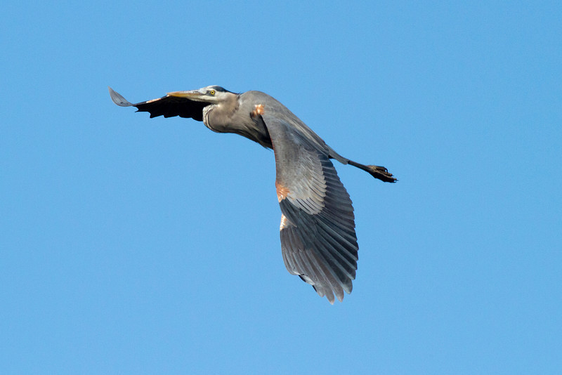 Great Blue Heron, San Diego