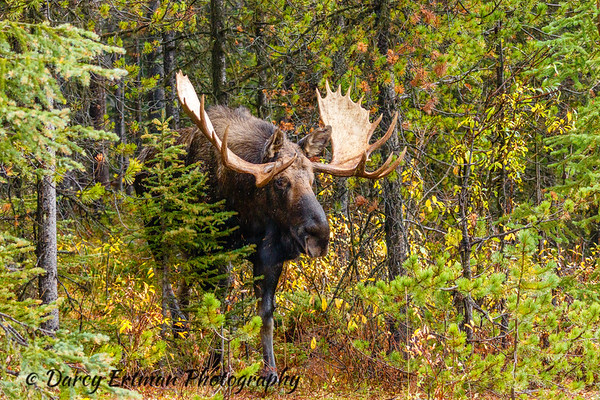 Themoose(North America) orelk(Eurasia),Alces alces, is a member of theNew World deer subfamilyand is the largest and heaviestextantspeciesin thedeer family.