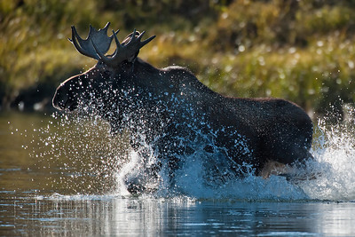 Startled bull moose charging through the water. Yukon River, Yukon Territory, Canada. The Yukon River is a major watercourse of northwestern North America and is filled with an abundance of wildlife and waterfowl.