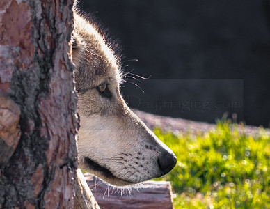 N. American Timber Wolf