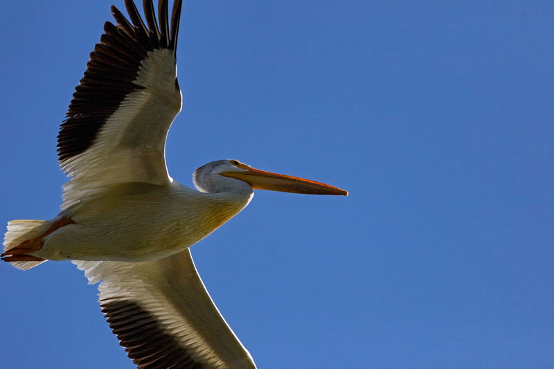 Pelican Cruse