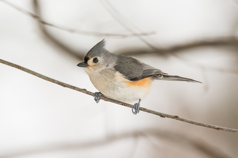 """Tufted Titmouse"""