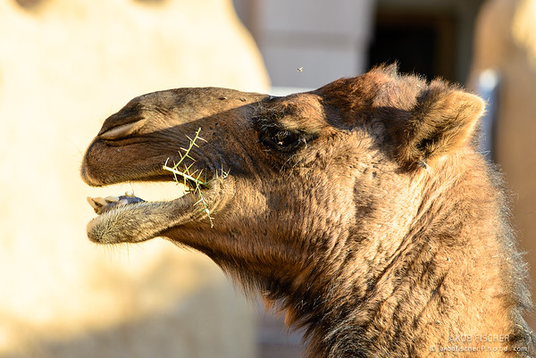 Camels enjyoing lunch