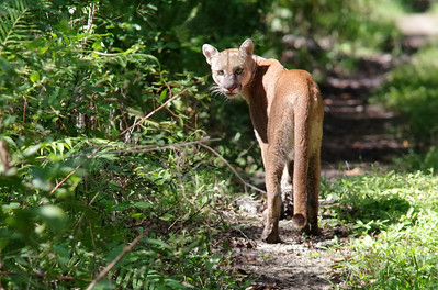 November image - midday florida panther.