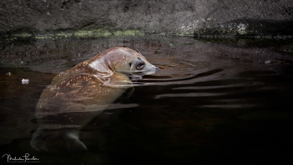 Alaskan Harbour Seal