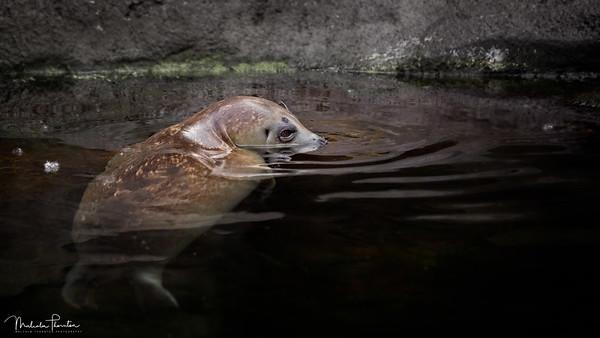 Alaskan Harbour Seal
