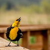 Yellow Headed Blackbird Sings His Song