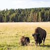 Mama buffalo & calf