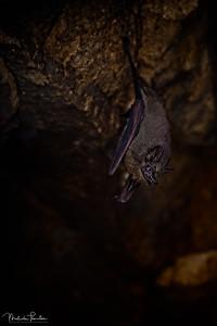 Lesser Dog-Like Bat