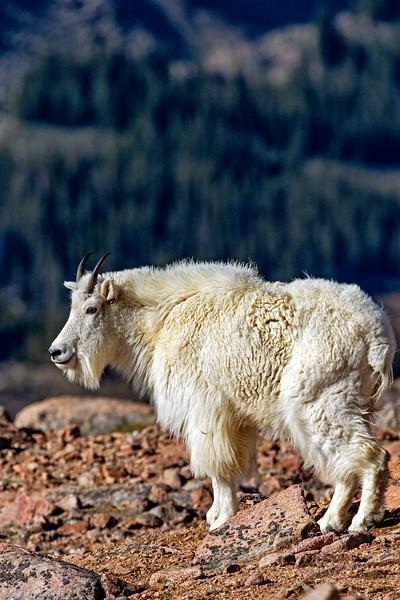 Mt Evans Mountain Goat 1