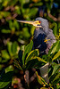 Tricolored Heron Pose