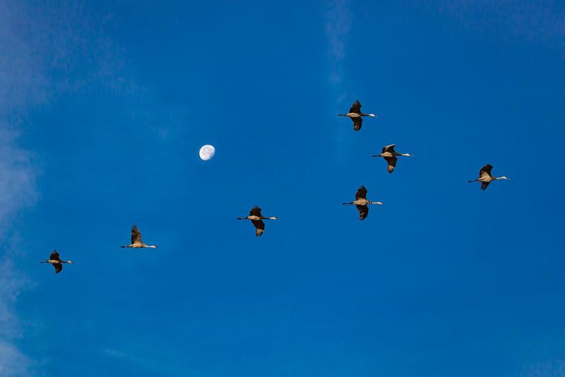 Moonlit Sandhill Cranes