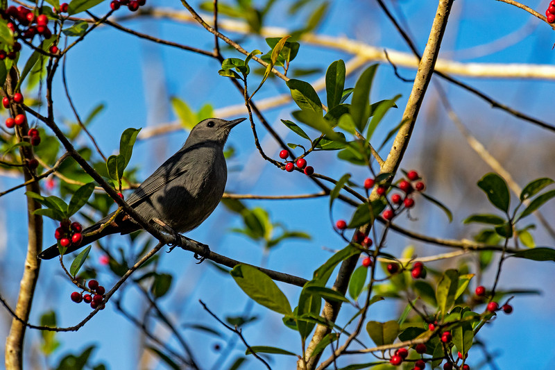 Catbird & Berries 1