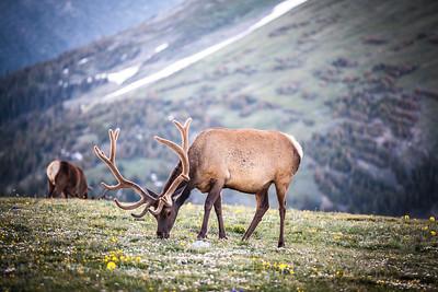 Alpine Tundra Elk
