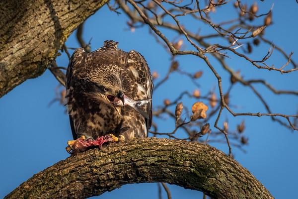 Juvenile Eagle Devouring Catch