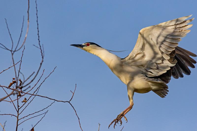 Black-crowned Night-Heron In Flight 5
