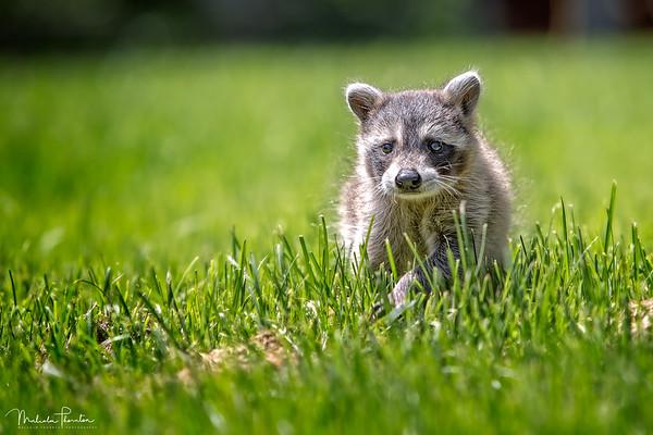 Ringo the Raccoon