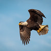 Eagle flyby with fish.