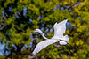 Great Egret Flight 6