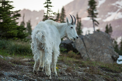 Mountain Goat & Alpine Glow