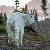 Mountain Goat & Alpine Glow
