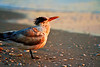 Royal Tern Sunset