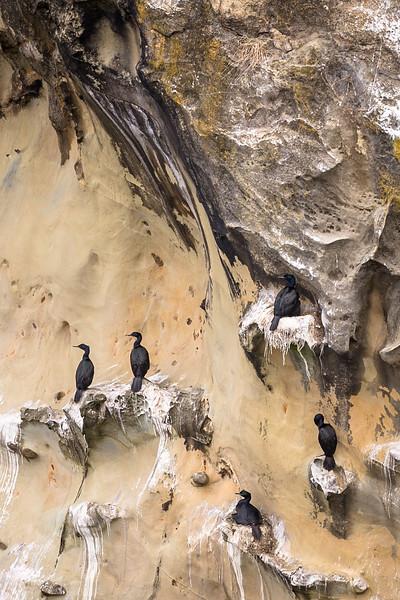 Pelagic Cormorant Colony