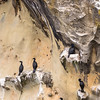 Nesting Pelagic Cormorants